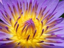 tät lotusblomma upp Royaltyfri Foto