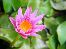 tät lotusblommapurple upp Arkivbilder