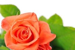 tät mörk dagg tappar orange rose övre arkivbild