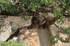 tät macaque som förvånas upp mycket Royaltyfri Foto