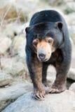 tät malayan sun för björn upp Arkivfoto
