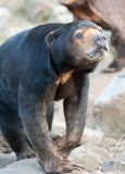 tät malayan sun för björn upp Arkivbild