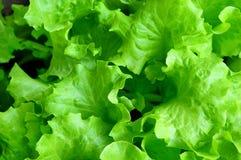 tät ny grön sallad för grupp upp Arkivfoto