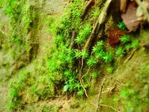 Tät och frodig skogmossa som växer på ett träd i regnig säsong Arkivfoton