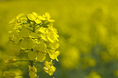 tät oilseed för canola upp Royaltyfri Bild