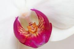 tät orchid upp Fotografering för Bildbyråer