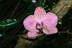 tät orchidpink upp royaltyfria bilder