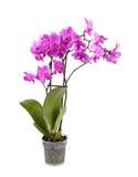 tät orchidpurple upp Royaltyfria Foton