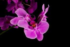 tät orchidpurple upp Arkivfoton