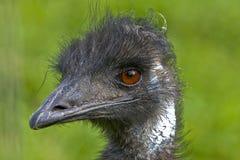 tät ostrich upp royaltyfria foton