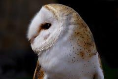 tät owl för ladugård upp arkivfoto