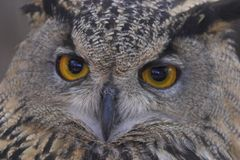 tät owl upp royaltyfri fotografi