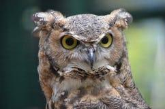 tät owl upp Arkivfoton
