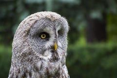 tät owl upp Royaltyfri Bild