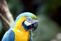 tät papegoja upp Royaltyfria Bilder