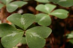 tät park för växt av släkten Trifoliumleaflimekiln upp Royaltyfri Fotografi