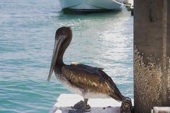 tät pelikan för cabo upp Arkivfoto