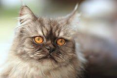 tät perser för katt upp Arkivfoton