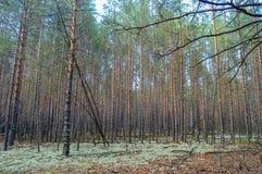 Tät pinjeskog för sommar Arkivfoton