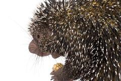 tät porcupine för brasilian upp Arkivbild
