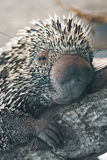 tät porcupine upp Royaltyfria Bilder