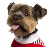 tät röd terrier som slitage upp yorkshire Royaltyfri Foto