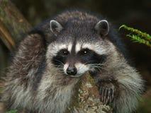 tät raccoon upp Royaltyfri Foto