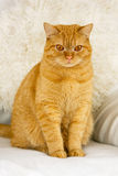 tät red för katt upp Royaltyfria Foton