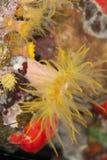 tät red för korallkoppnatt upp Arkivfoto