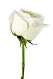 tät rose övre white royaltyfri foto