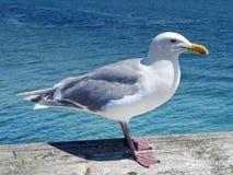 tät seagull upp Arkivfoto