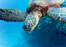 tät sköldpadda Arkivfoton