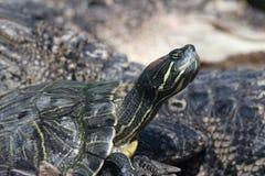 tät sköldpadda upp Royaltyfri Fotografi