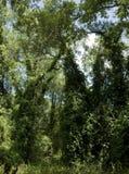 tät skog Royaltyfria Foton