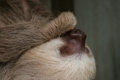 tät sloth tre toed upp Arkivbilder