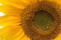 tät solros för bakgrund upp Arkivbilder