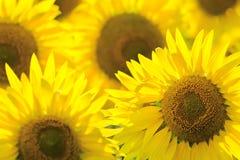 tät solros för bakgrund upp Sommar och oljabegrepp Royaltyfria Foton