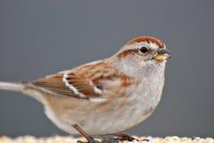 tät sparrow upp Arkivfoton