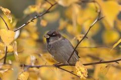 tät sparrow upp Arkivbilder