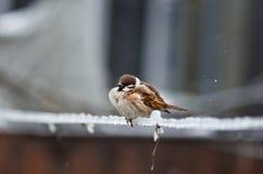 tät sparrow upp Arkivfoto