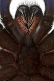tät spindeltarantel upp Arkivfoto