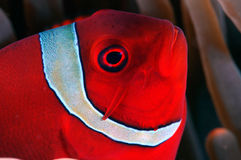 tät spinecheek för anemonefish upp Arkivfoto