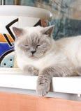 tät stående för katt som sovar rökigt övre Royaltyfri Foto