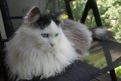 tät ståendesiberian för katt upp arkivfoto