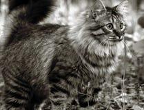 tät ståendesiberian för katt upp Royaltyfri Bild