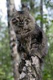 tät ståendesiberian för katt upp Arkivbilder