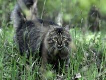 tät ståendesiberian för katt upp Fotografering för Bildbyråer