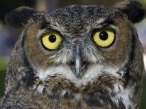 tät stor horned owl upp royaltyfria foton