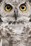 tät stor horned owl upp royaltyfri bild