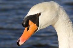 tät swan upp arkivfoto